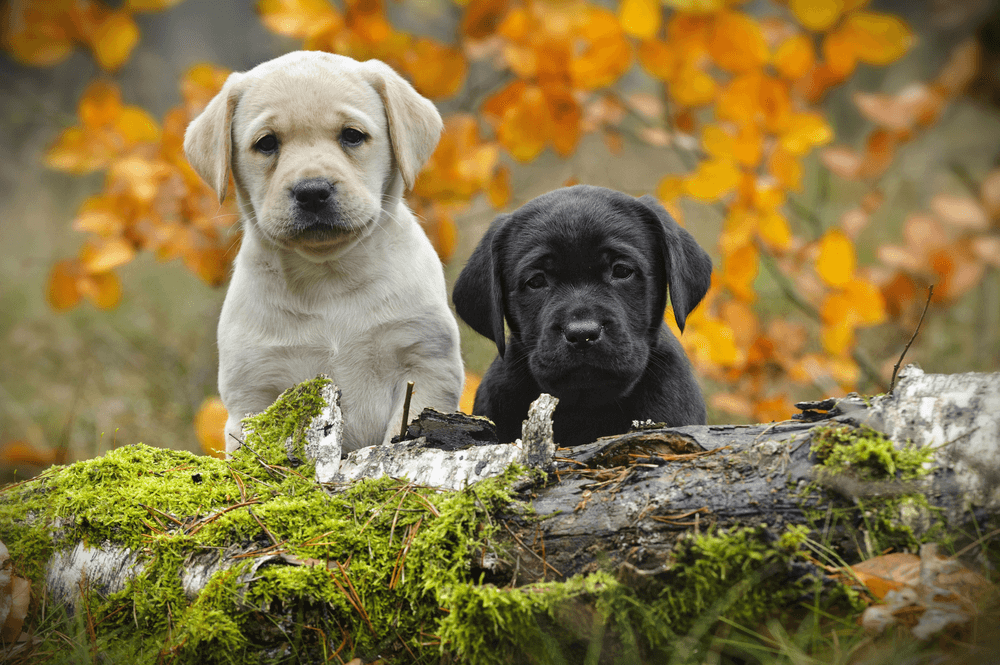 Yellow and Black Labrador Puppies