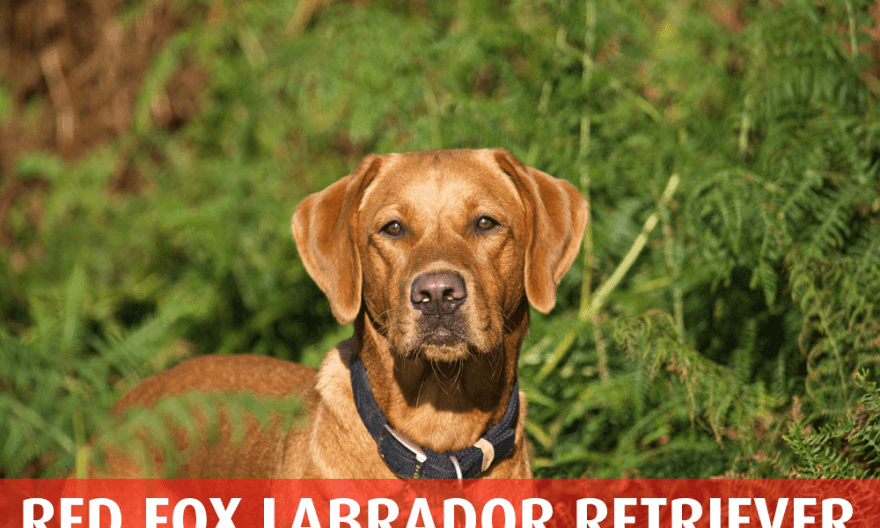 Fox Red Labrador Retriever The