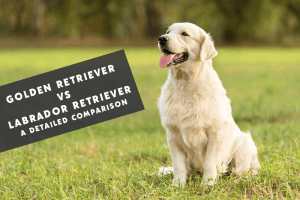 Golden Retriever Vs Labrador Retriever