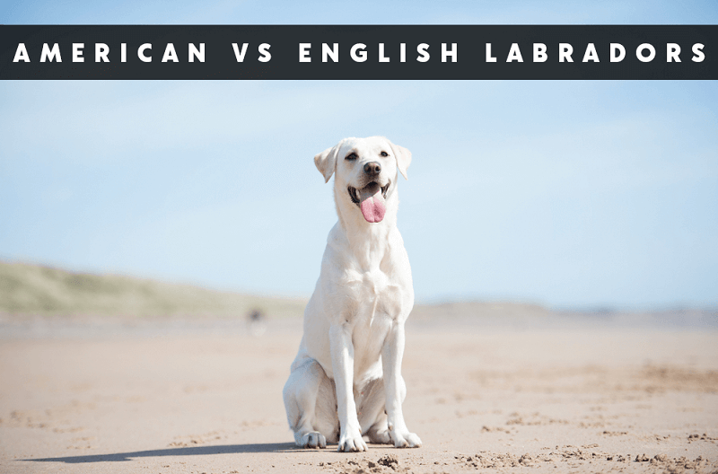 American VS English Labs